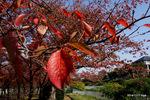 桜の紅葉:甲斐田川;クリックすると大きな写真になります。