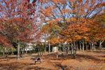 桃山台公園の紅葉;クリックすると大きな写真になります。