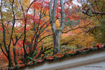 白壁と楓:大威徳寺(岸和田);クリックすると大きな写真になります。