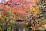 山門上の楓:大威徳寺(岸和田);クリックすると大きな写真になります。