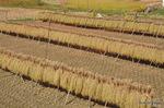 稲木に干した稲:野々井;クリックすると大きな写真になります。