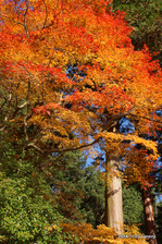 開山堂横あたりの紅葉:観心寺;クリックすると大きな写真になります。