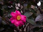 山茶花:美木多;クリックすると大きな写真になります。