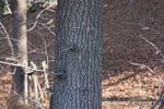 モミジバフウの幹:泉北栂地区;クリックすると大きな写真になります。