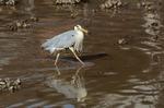 潮が引いた浅瀬でアオサギが小魚を狙っていた:呼子;クリックすると大きな写真になります
