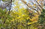 林道脇の黄葉;クリックすると大きな写真になります