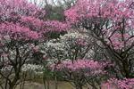 荒山公園の梅;クリックすると大きな写真になります