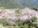 桜に囲まれた那智大社の参道:クリックすると大きな写真になります
