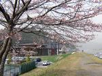 熊野川土手のソメイヨシノ:クリックすると大きな写真になります