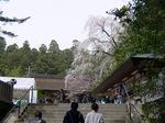 158段を登り切ると、しだれ桜が迎えてくれた:クリックすると大きな写真になります