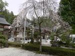 大社内庭園のしだれ桜:クリックすると大きな写真になります