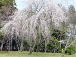大斉原の見事なしだれ桜:クリックすると大きな写真になります