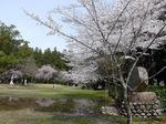 大斉原の広場を彩る桜の競演:クリックすると大きな写真になります