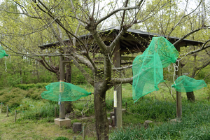 030)200422130 X800 〇武蔵嵐山 オオムラサキ幼虫 RX10M4.jpg