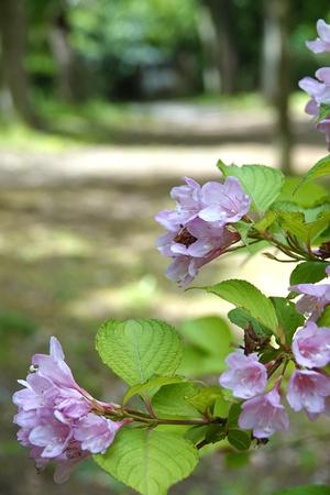 003)200513010 X800 舞岡公園 タニウツギ RX10M4.jpg