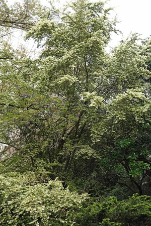 036_210409185 X800 トキワマンサク 小石川植物園 RX10M4.jpg