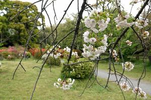 046_210409214 X800 サトザクラ 一葉 小石川植物園 RX10M4.jpg
