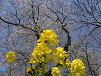 津久井湖の桜と菜の花:クリックすると大きな写真になります