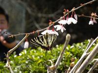 桜にギフチョウ:クリックすると大きな写真になります