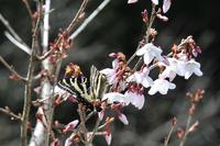 桜とギフチョウ:クリックすると大きな写真になります