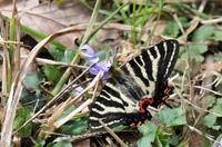 スミレの花に来たギフチョウ;クリックすると大きな写真になります
