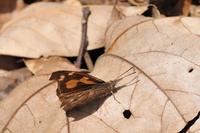 越冬明けのテングチョウ;クリックすると大きな写真になります