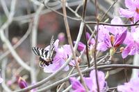 ミツバツツジに飛来;クリックすると大きな写真になります