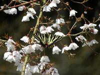 桜に飛来;クリックすると大きな写真になります