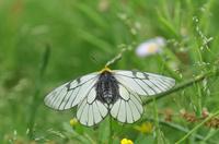 ウスバシロチョウ 開翅;クリックすると大きな写真になります