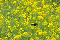 菜の花とジャコウアゲハ;クリックすると大きな写真になります
