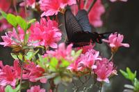 大雄山最乗寺のジャコウアゲハ;クリックすると大きな写真になります