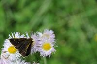 コチャバネセセリ 翅表;クリックすると大きな写真になります