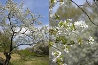 新緑と桜;クリックすると大きな写真になります