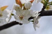 梨の花;クリックすると大きな写真になります