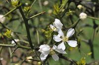 カラタチの花;クリックすると大きな写真になります