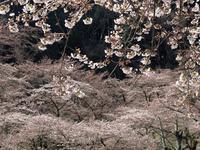 津久井湖城山公園の桜;クリックすると大きな写真になります