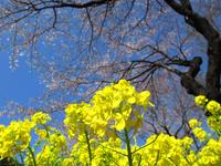 菜の花と桜 津久井湖城山公園;クリックすると大きな写真になります