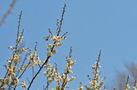 梅に飛来するギフチョウ;クリックすると大きな写真になります