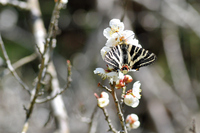 梅の花とギフチョウ -1;クリックすると大きな写真になります