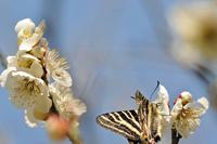 梅の花とギフチョウ -2;クリックすると大きな写真になります