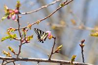 ギフチョウと桜;クリックすると大きな写真になります