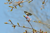 ギフチョウの飛翔;クリックすると大きな写真になります