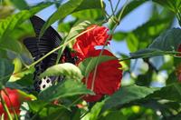 ナガサキアゲハ♂ Papilio memnon genor;クリックすると大きな写真になります