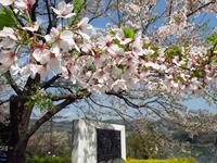 残った桜;クリックすると大きな写真になります