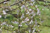 桜とギフチョウ;クリックすると大きな写真になります