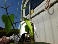 カバマダラの蛹;クリックすると大きな写真になります。