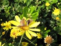 Cacyreus marshalli (アフリカからの帰化蝶);クリックすると大きな写真になります。