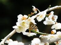 トラフシジミ春型;クリックすると大きな写真になります。