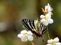 桜の花で吸蜜するギフチョウ;クリックすると大きな写真になります。