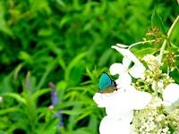 ミドリシジミ 緑色の輝き;クリックすると大きな写真になります。
